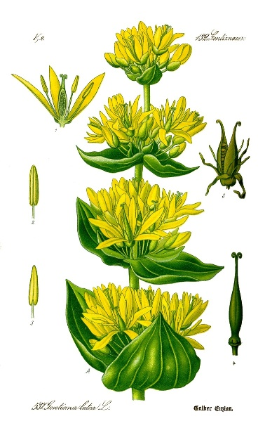 Gentian illustration