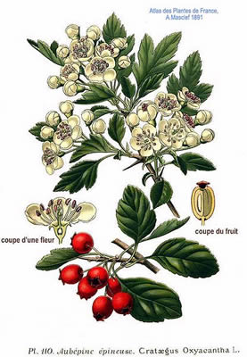 hawthorn illustration