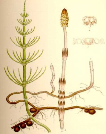 horsetail illustration