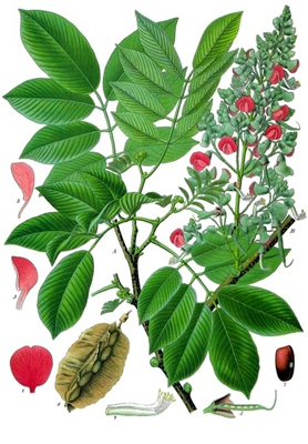 jamaican dogwood illustration