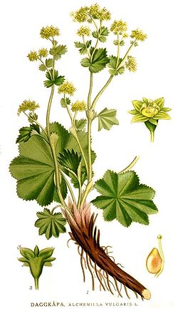lady's mantle illustrtion