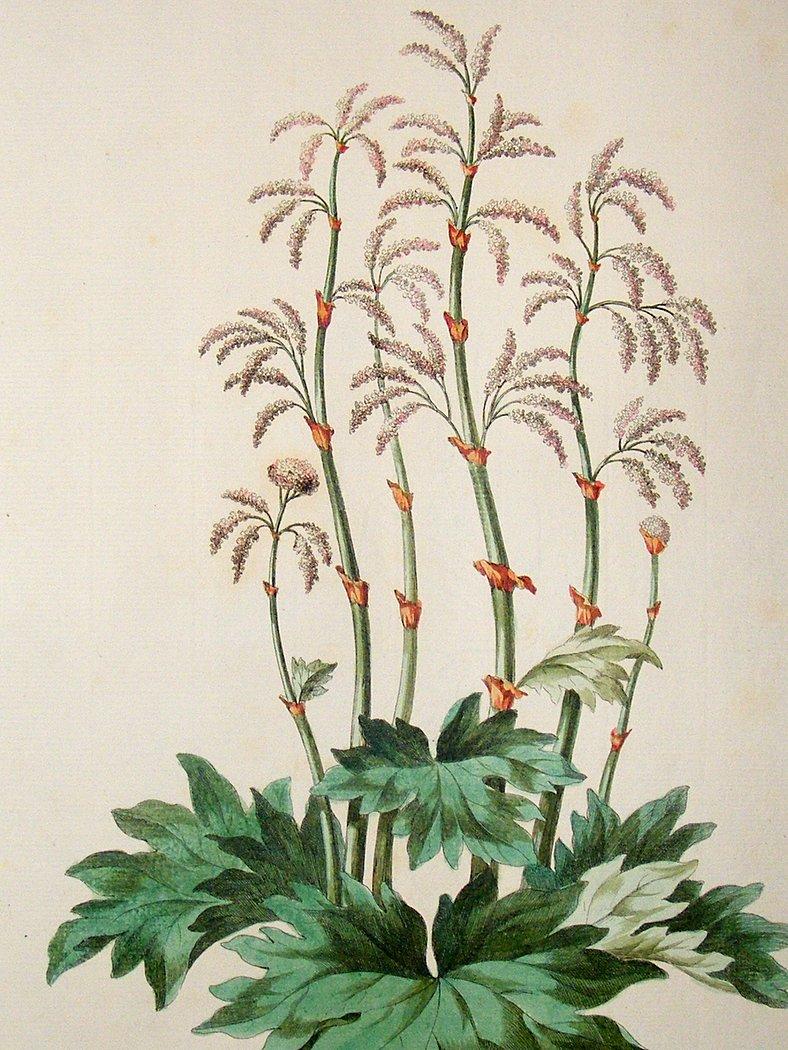 Turkey Rhubarb